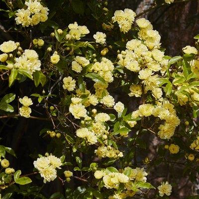 Rosa Banksiae