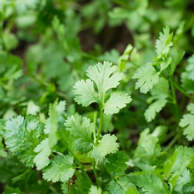 Health benefits of coriander. Coriander is loaded with antioxida