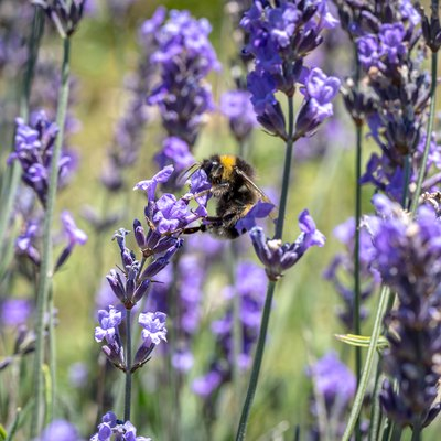 A Bee on Lavender Flowers in Summer