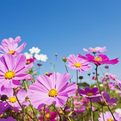 Colorful Cosmos Flowers Against Clear Blue Sky