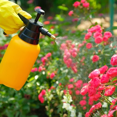 Pest control concept. Garden spray bottle with pesticides spraying on roses flowers.