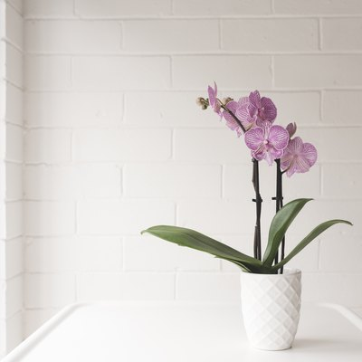 Closeup Of Purple Phalaenopsis Orchid In On White Table Against Painted Brick Wall Background
