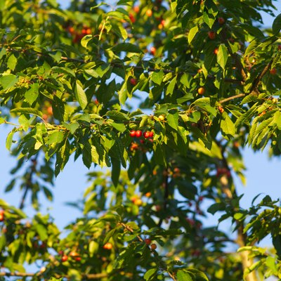 cherry Tree with red ripe fresh cherries