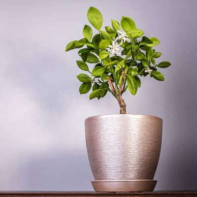 Tangerine tree blooms in a pot on a rustic background