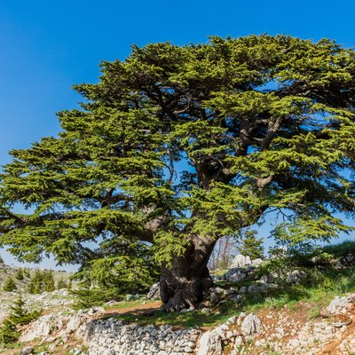 trees of Al Shouf Cedar Nature Reserve Barouk Lebanon