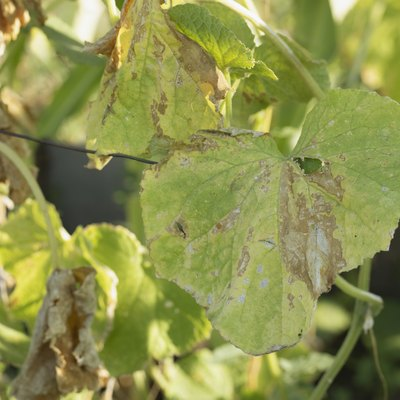 Pest damaged cucumber leave caused by harmful insects, plant fungi, thrips and other diseases
