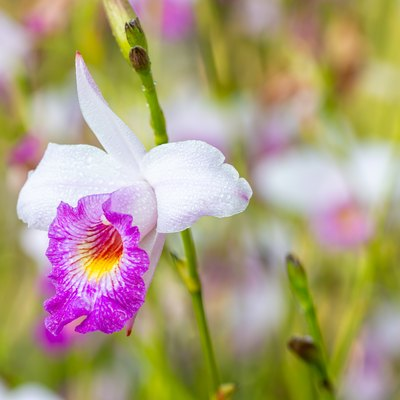 Tropical flower, purple orchid: Arundina graminifolia.