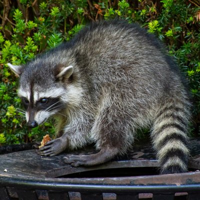 Raccoons (Procyon lotor) eating garbage or trash in a can invading the city in Stanley Park, Vancouver British Columbia, Canada.