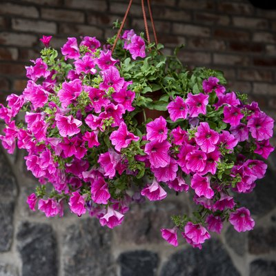 Beautiful purple petunias in hanging pots outdoors