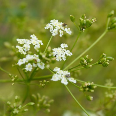 Caraway (Carum carvi). Cumin is one of the oldest spices.