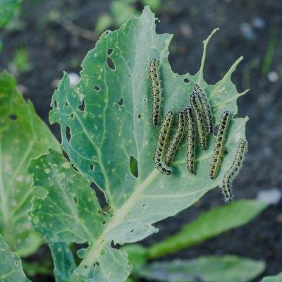 Many caterpillars eat cabbage
