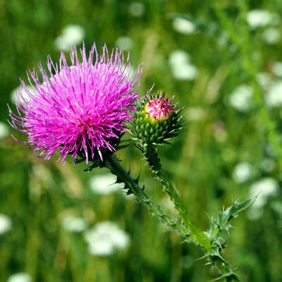purple flower of the Thistle blooms in the meadow, macro