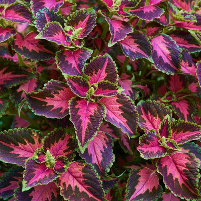 Decorative composition of multicolored coleus flowers. Ornamental deciduous plant. Decorative floral arrangement of flowers in autumn garden, autumn bouquet.