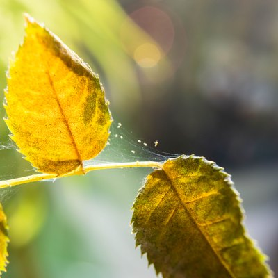 Microscopic spider mites quickly move along the cobweb entangling the leaves of a house indoor plant.