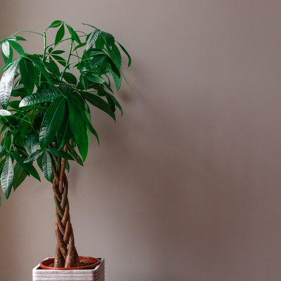 Money Tree against a Grey Background