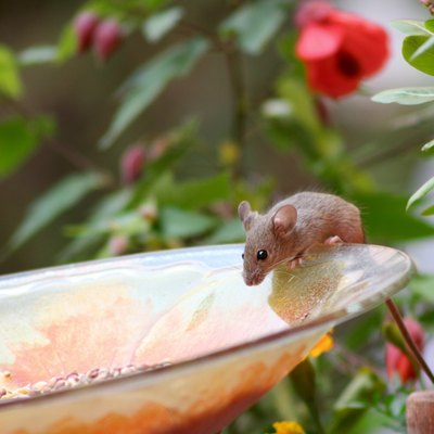 Cute mouse on garden plate eating birdseed.