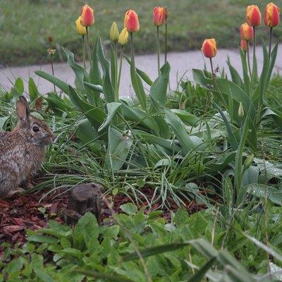 Rabbit in a Tulip Garden