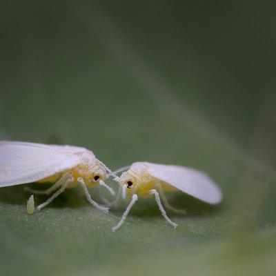 Whiteflies (Hemiptera; Aleyrodidae) with egg