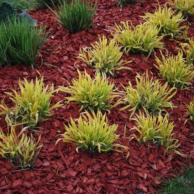 Molinia caerulea 'Variegata' on the flower bed.