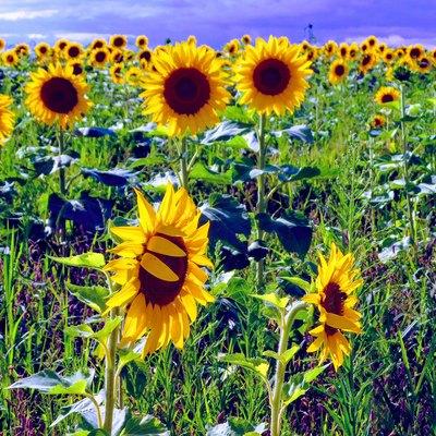 Sunflowers under a cloudy sky