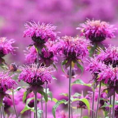 Monarda (Monarda didyma) flowers