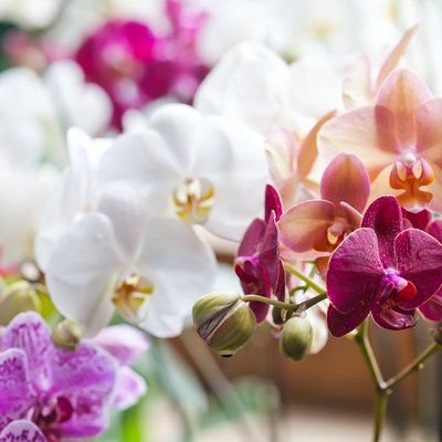 Colorful flower Orchids. Beautiful Orchidaceae Phalaenopsis pink, red, violet orchid