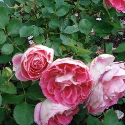 How to Keep Rose Bushes Insect-Free