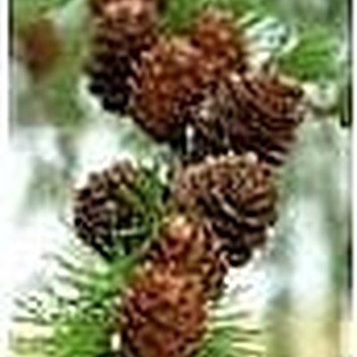 How to Grow a Pine Tree From Seed
