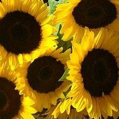 How to Care for a Sunflower