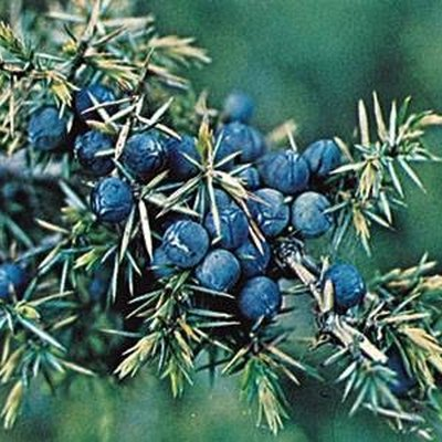 How to Identify Juniper Berries