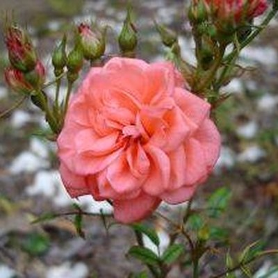 How to Take Care of a Mini Rose Plant