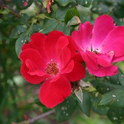 Best Time to Plant Knock Out Roses in Zone 7