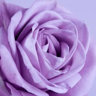 Names of Lavender Roses