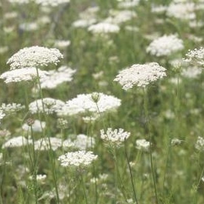 How to Preserve Queen Anne's Lace Flowers for Fresh Bouquets