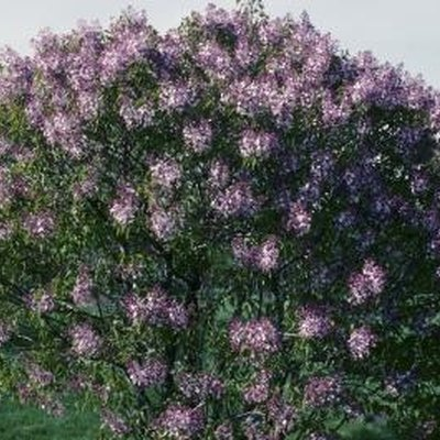 How to Grow Lilacs Faster