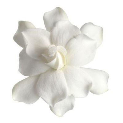 How to Care for Dwarf Gardenias