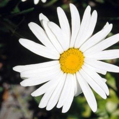 How Long Does It Take for a Daisy to Grow?