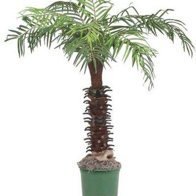 How Fast Does a Palm Tree Grow?