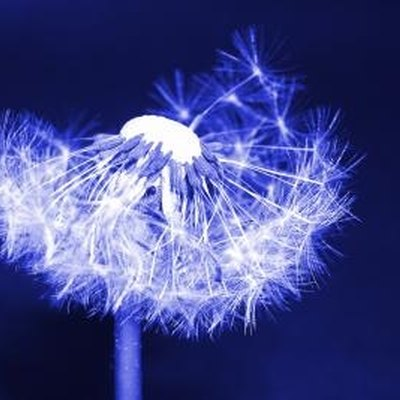 How Does a Dandelion Reproduce?