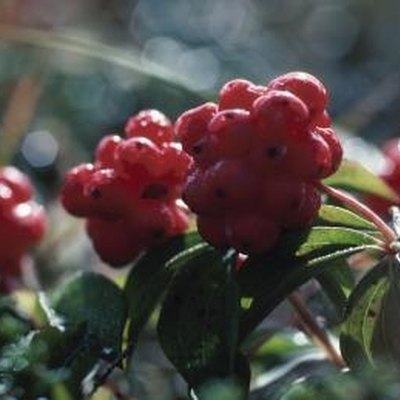 What Trees Have Red Berries in the Summer?