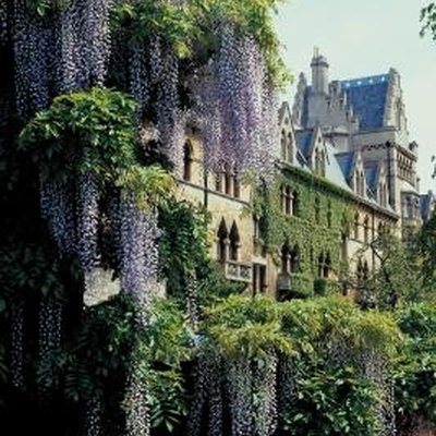 How Long Does Wisteria Bloom?