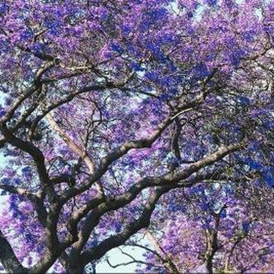 Trees With Purple Bell-Shaped Flowers