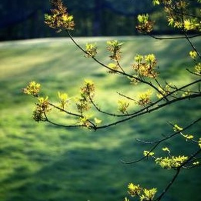 Oak Tree Removal Laws in California
