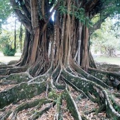 Is the Wood From the Banyan Tree Useable?