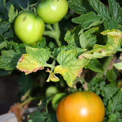 What Causes Yellow Leaves With Black Spots on Tomato Plants?