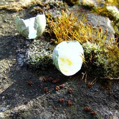 Are Egg Shells Good for Roses?