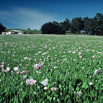 Laws of Florida About Opium Papaver Somniferum