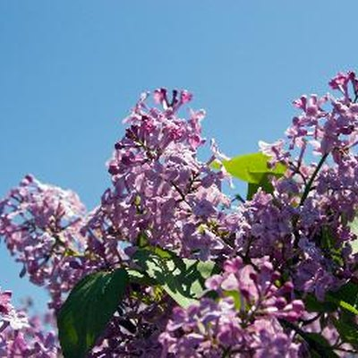 What Do You Use to Kill Lilac Bush Roots?