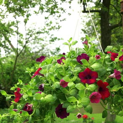 How Much Sunlight Do Petunias Require?