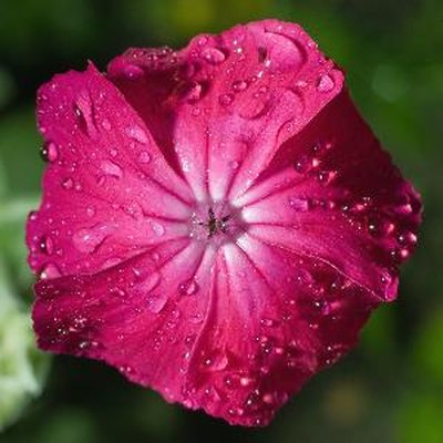 Does the Phlox Flower All Summer?